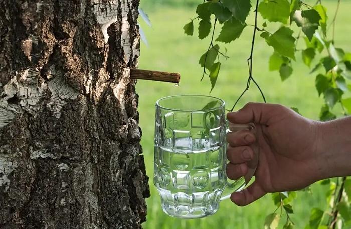 Забродивший берёзовый сок был одним из любимых алкогольных напитков на Руси /Фото: culture.ru.