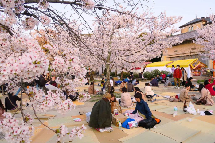 Праздник ханами в Японии. / Фото: aminoapps.com