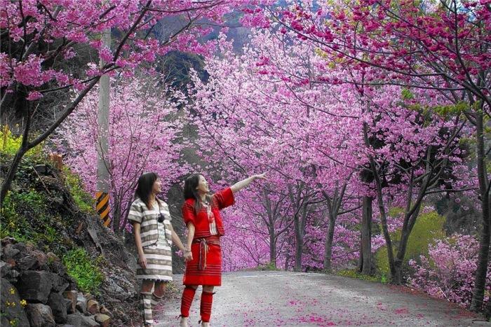 Цветение сакуры на острове Хоккайдо. / Фото: liveinternet.ru