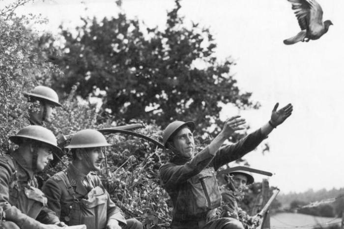 Почтовые голуби принимали участие в обеих мировых войнах / Источник: wwii.space
