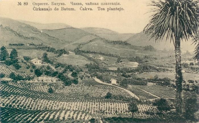 Чайные плантации возле Батума, начало XX века / Фото: ruslanguage.ru