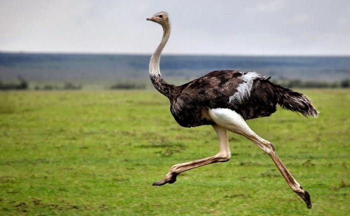 Средняя скорость бега страуса 50 км/ч, совсем чуть-чуть ниже лошадиной. Зато они могут дольше поддерживать максимальную скорость / Фото: fotovmire.ru