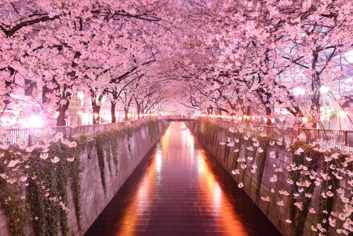 Цветение сакуры вечером. / Фото: astra-nsk.com