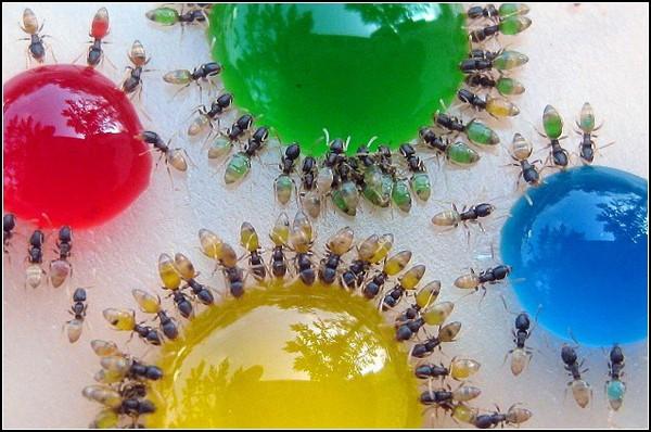 Дегустируя радугу: как раскрасить муравьев. Муравьиный проект от Мохамеда Бабу (Mohamed Babu)