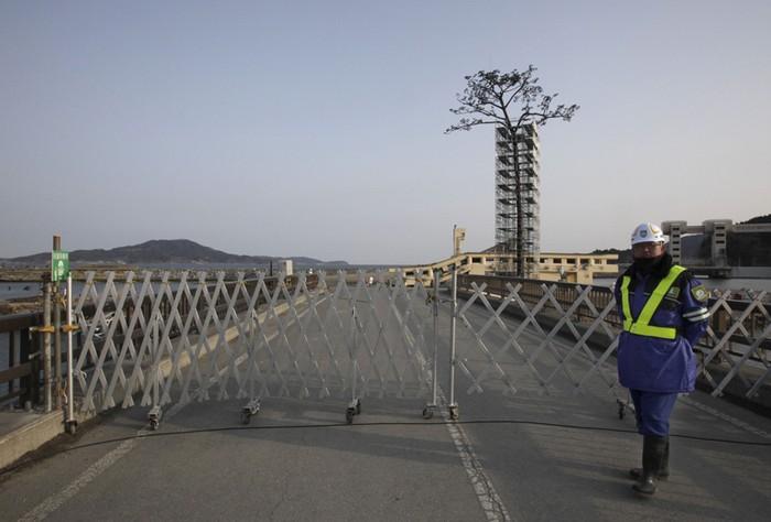 Чудесная сосна – памятник Катастрофе 2011 года в Японии