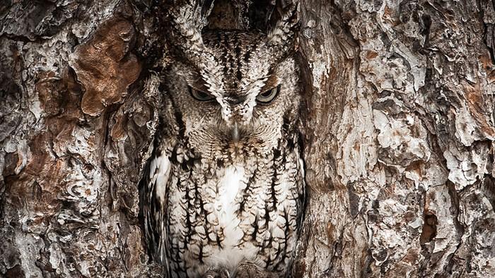Фотография Portrait of an eastern screech owl от Грехама МакДжорджа (Graham McGeorge). Конкурс 2013 Traveler Photo Contest от National Geographic