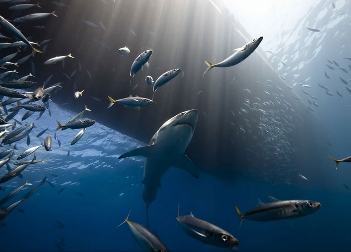 Фотография Great white shark of Guadalpe Island от Марка Хенауэра (Marc Henauer). Конкурс 2013 Traveler Photo Contest от National Geographic