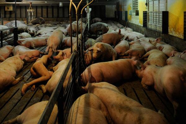 Сходство человека и свиней в фотопроекте Миру Кима (Miru Kim)