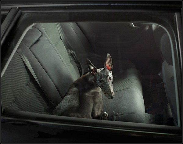 Молчаливые собаки в автомобилях