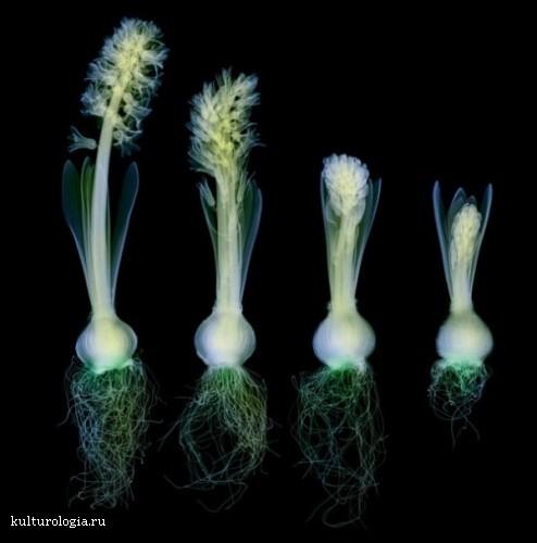 Где цветы, дай мне ответ – в рентген кабинете: творчество  Hugh Turvey