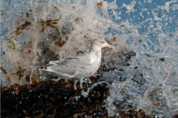 Steve Young, Herring Gull in Wave