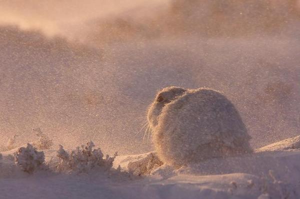 Marcin Zagorski, Mountain Hare