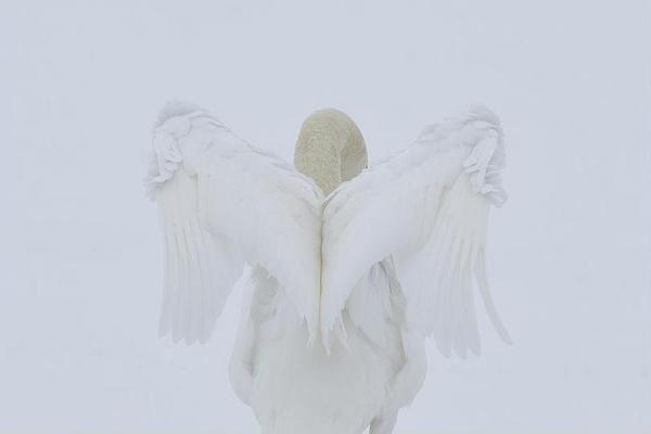 Des Ong, Angelic Swan