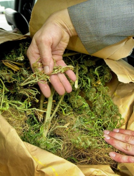 Судьи весь день употребляют марихуану, чтобы выявить лучших производителей
