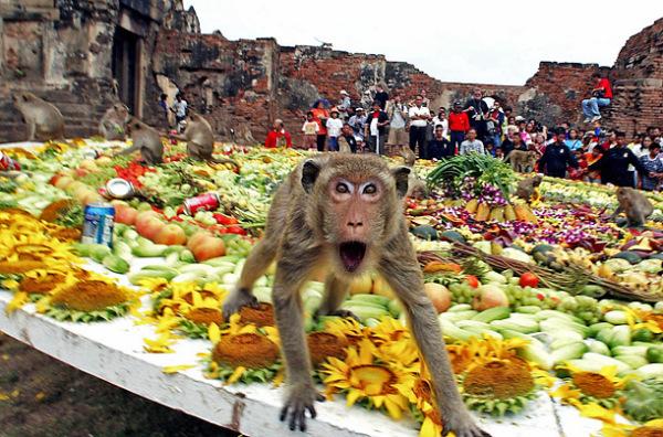 Обезьяний банкет - радость 2 тоннам еды бесконечна