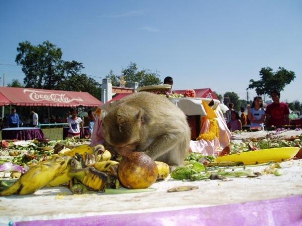 Обезъяний банкет - 2 тонны еды главным привлекателям туристов