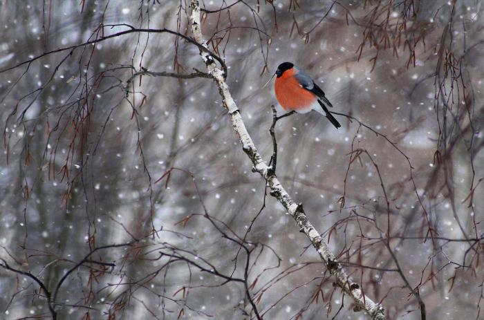 Красногрудое чудо. / Фото: Свистков Александр