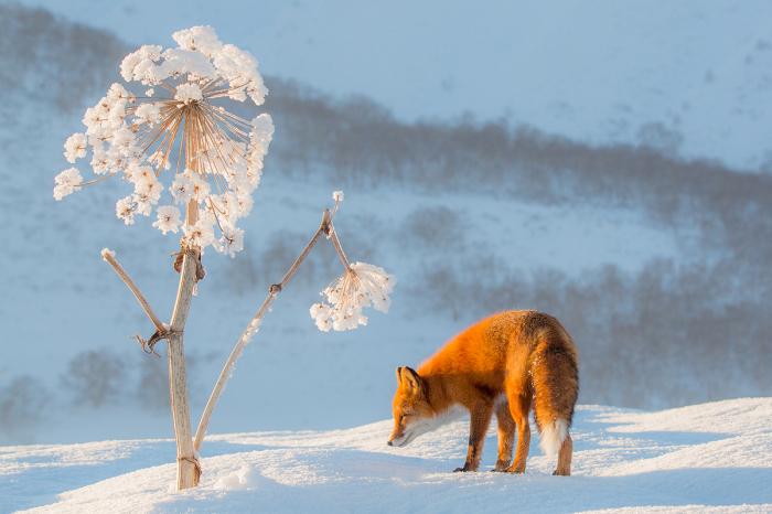 Камчатка. Лисица около высохшего стебля Борщевика./Фото: Денис Будьков