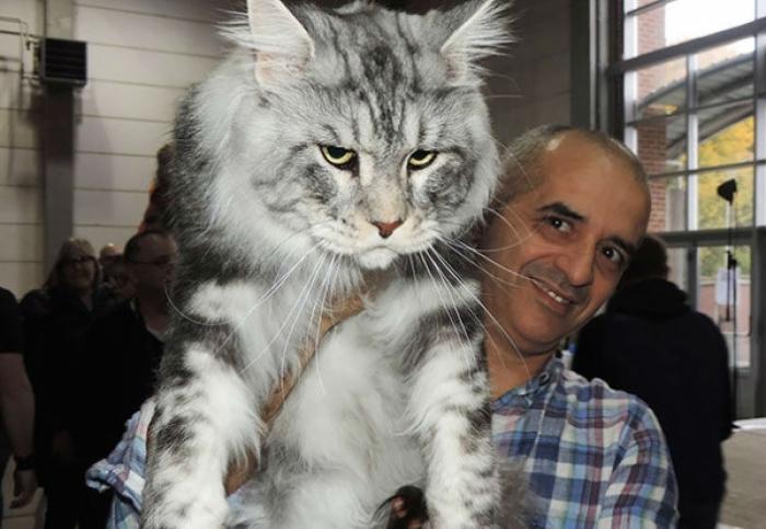 Ну ОЧЕНЬ большие коты.