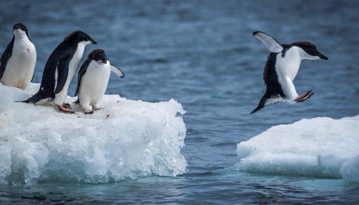 Ох, уж эти пингвины!