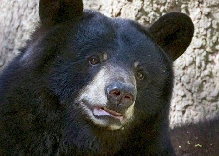 Виннипег — канадская черная медведица из Лондонского зоопарка.