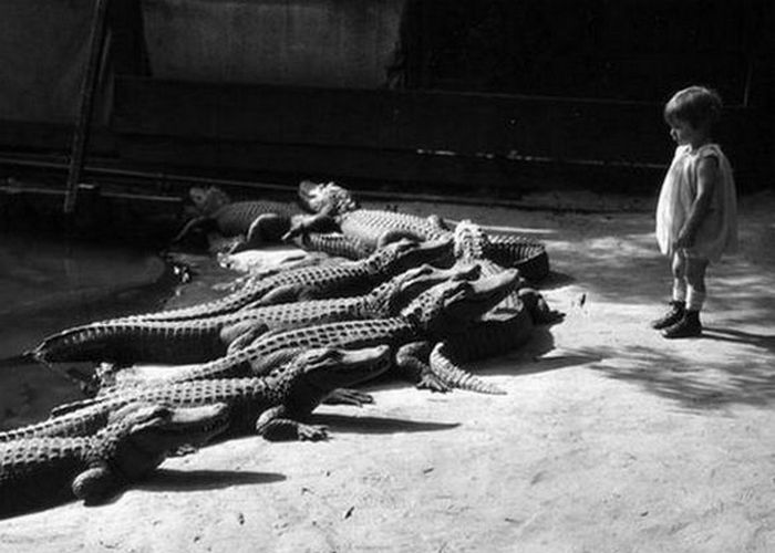 К аллигаторам во время их кормления разрешали подходить даже маленьким детям.