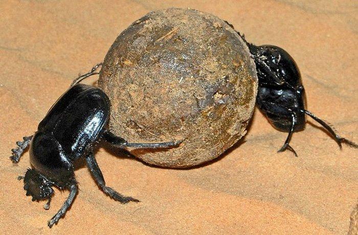Древний Египет: зарождение жуков-скарабеев.