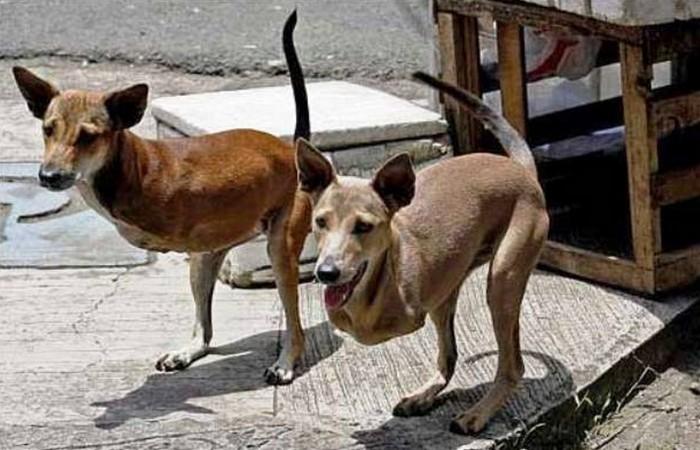 Филиппинские собаки.