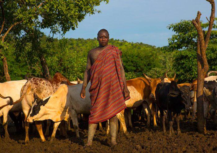 Коровы - главное богатство в племени боди. Источник: www.dailymail.co.uk