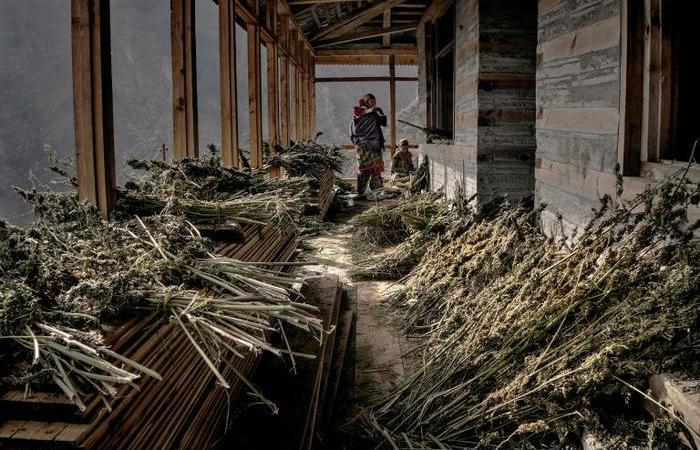 Семья фермера раскладывает собранные растения на просушку.