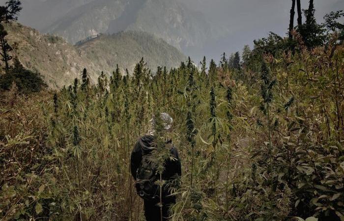 Фермер стоит возле горного поля конопли.