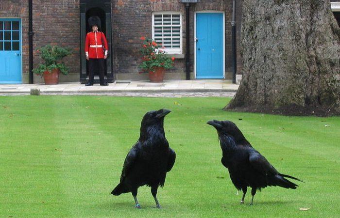 Вороны лондонского Тауэра.