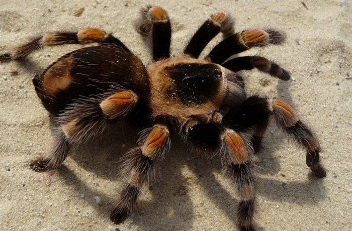 В Италии танцевальную чуму назвали тарантизмом.
