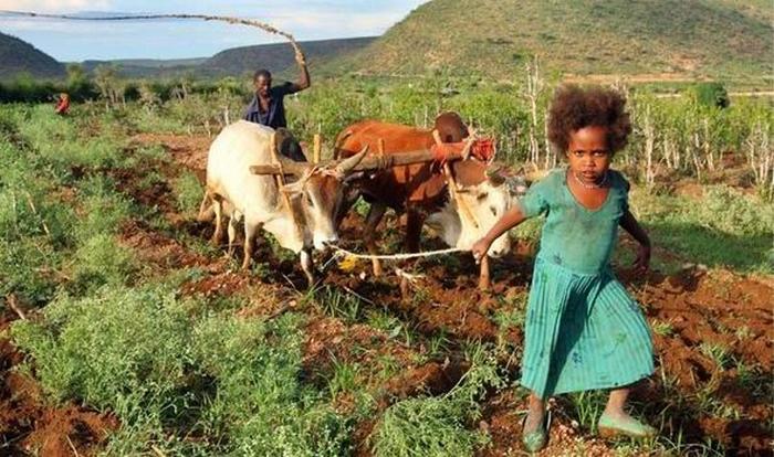 Тяжелая работа эфиопских фермеров. ¦ Фото: express.co.uk