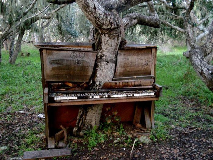 Дерево, которой проросло через выброшенное фортепиано.