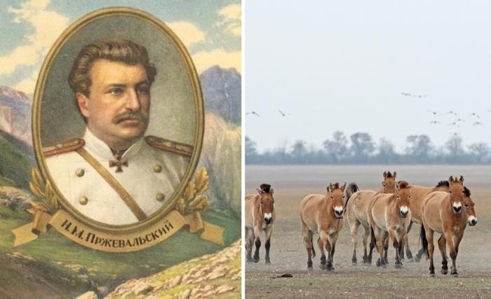Николай Пржевальский и открытый им подвид дикой лошади
