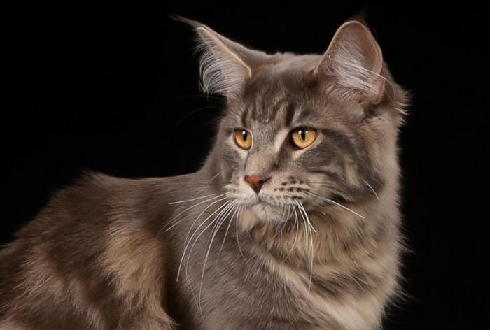 Норвежская лесная кошка - хранительница брака.