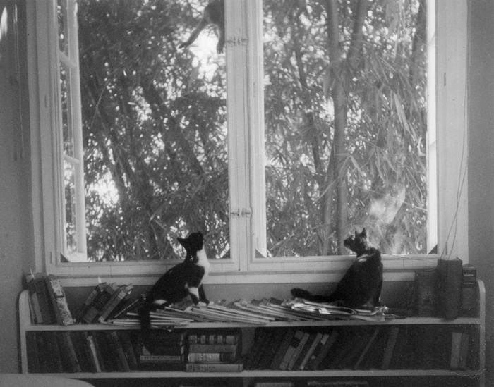 Коты Эрнеста Хемингуэя Недружелюбный брат и Вилли, смотрят на обезьяну за окном в усадьбе Финка Вихия.