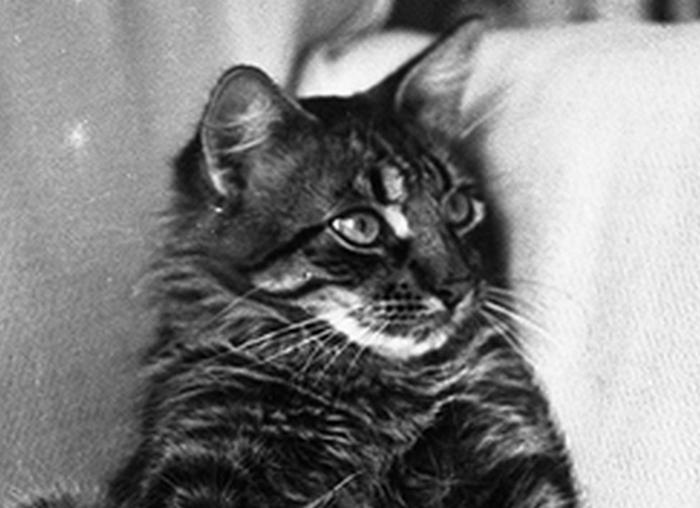 Умница Уилл - ангорский тигровый кот.