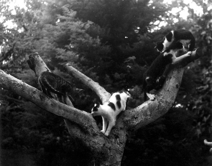 Кошки на дереве. Финка Вихия, Сан-Франциско де Паула, Куба.