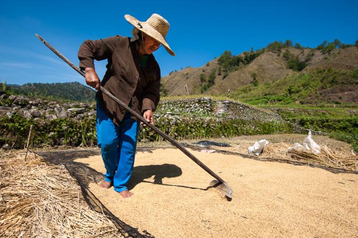Сушка на солнце является наиболее распространенным методом для снижения содержания влаги в рисе.