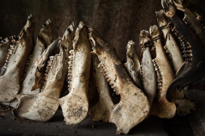 На фото коллекция черепов диких свиней черепов одного из охотников.