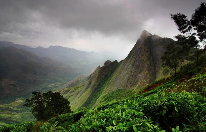 Чайные кусты, растущие на склонах гор.