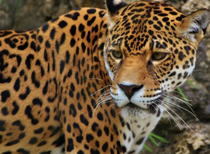 Ягуар - тоже кошка.