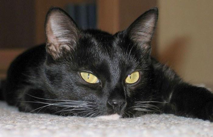 Кошка - одно из первых домашних животных.
