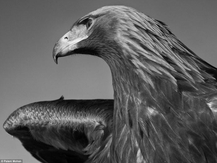 Самку орла, как правило, забирают из гнезда в возрасте четырех месяцев, чтобы она привыкла к человеку.