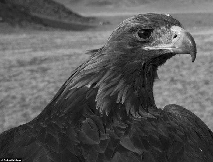 Орел привязывается к человеку, как ни одна другая птица. Он хочет быть со своим хозяином, любит его и с удовольствием убивает дичь для него.