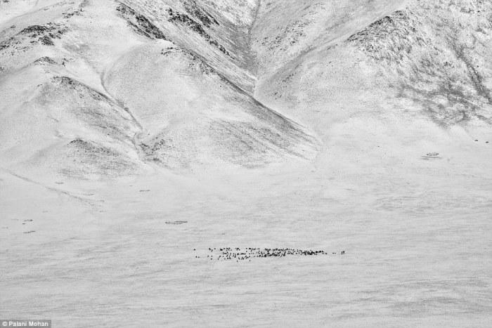 В бесплодных степях Монголии практически нет высоких деревьев, поэтому охотники ищут гнезда орлов на скалах.