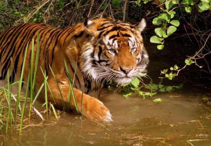Тигры - обитатели нового леса.
