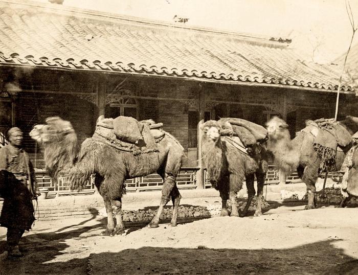 Путешественники на бактрийских верблюдах.